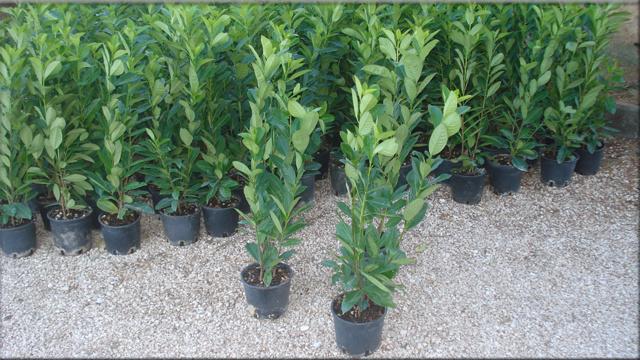 Piante da siepe lauro cerasus alte 2 metri euro plants vivai for Piante da siepe