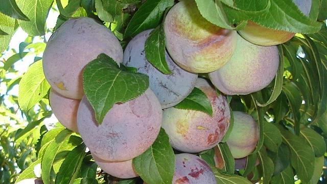 14 piante da frutta del mese d 39 agosto for Piante da frutto nane