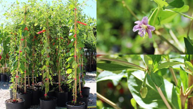 Piante Di Goji Prezzi : Piante di goji in vaso disponibili online euro plants vivai