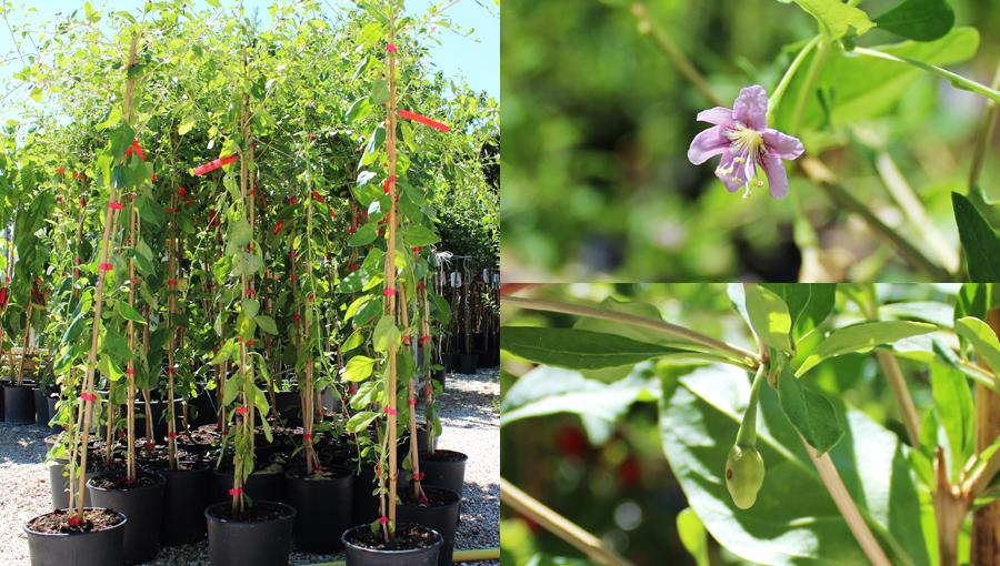 piante di goji in vaso disponibili online