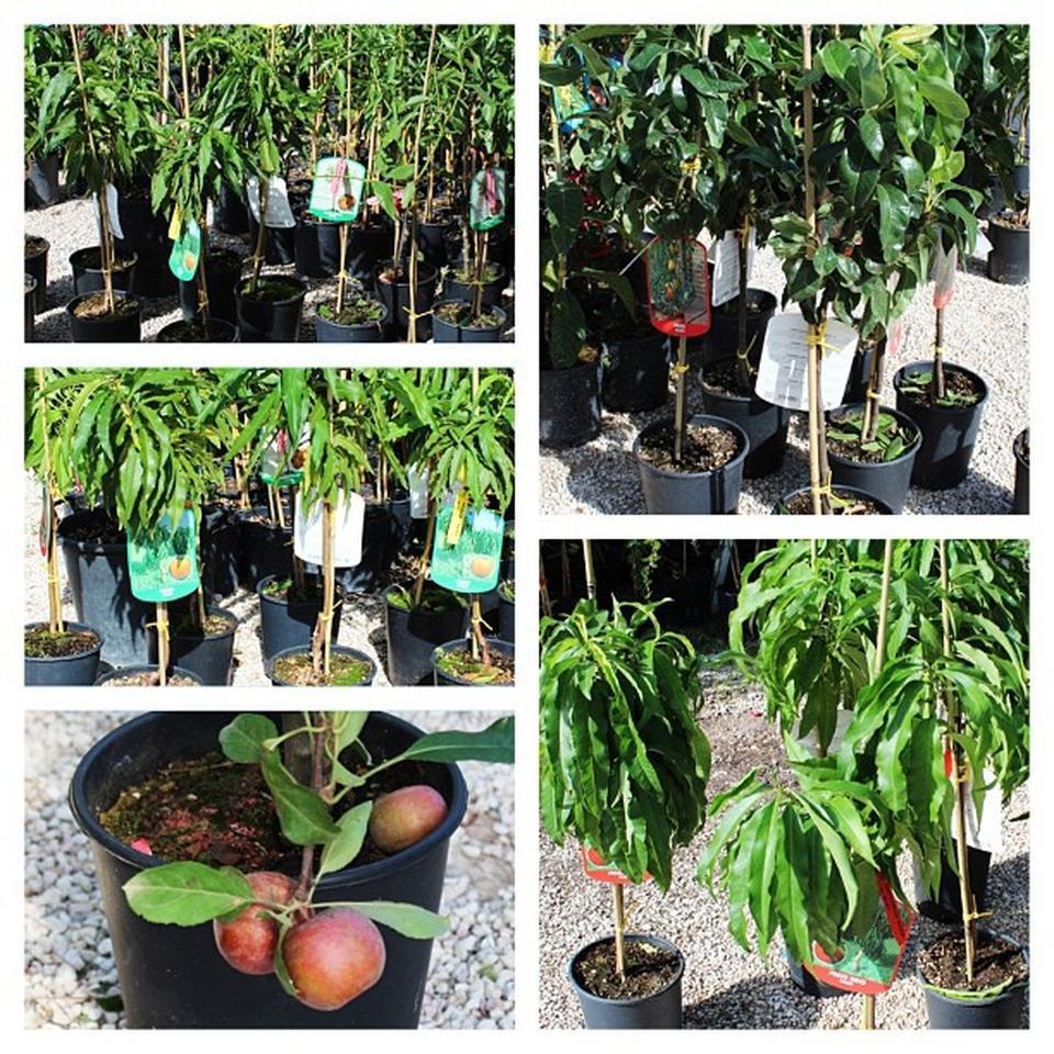 Presentazione piante nane for Piante nane da frutto