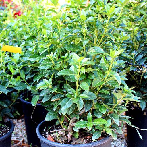 Nuova disponibilit in piante da siepe viburnum tinus for Piante siepe