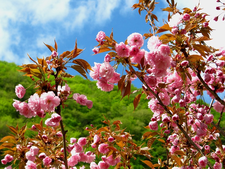 Kanzan il ciliegio giapponese degli italiani for Pianta di ciliegio