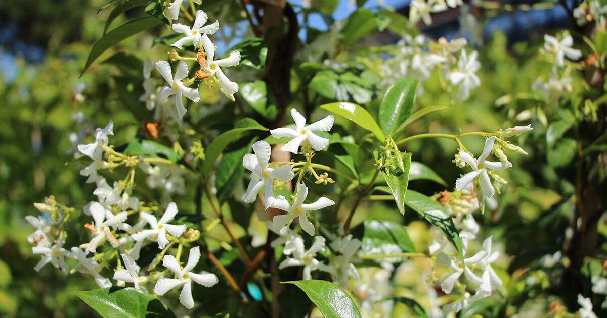 Cespuglio Fiori Bianchi Profumati.Gelsomino Arbusto Profumato Euro Plants Vivai