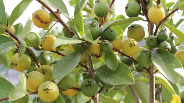 5 Piante da Frutto più gradite del 2015  Euro Plants Vivai