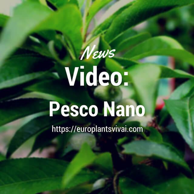 Video piante pesco nano euro plants vivai - Pesco noce nano ...