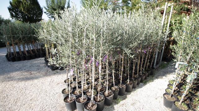 Guida epoca maturazione olivo euro plants vivai for Piante olivo online