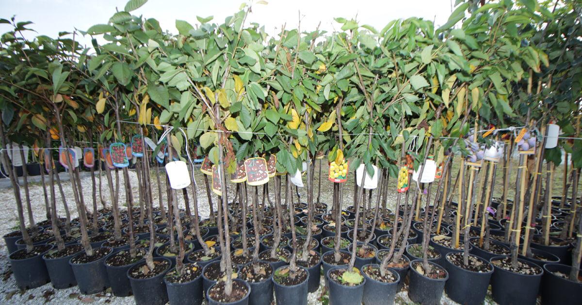 Novit piante in vaso ottobre 2016 euro plants vivai for Alberi da frutta in vaso