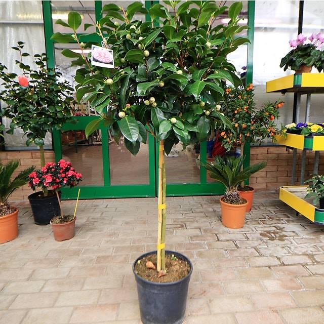 novit piante camelia japonica ad alberello euro plants
