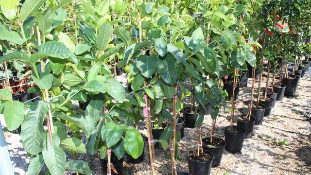 Piante da frutto in vaso nuova produzione 2017 2018 euro for Piante da frutto vaso
