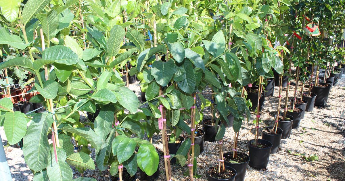 piante da frutto in vaso nuova produzione 2017 2018 euro