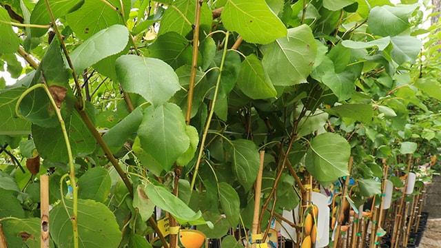 Coltivare Albicocco - le foglie