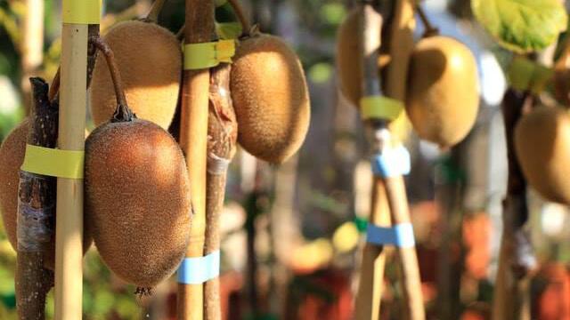 Coltivare Kiwi - i frutti