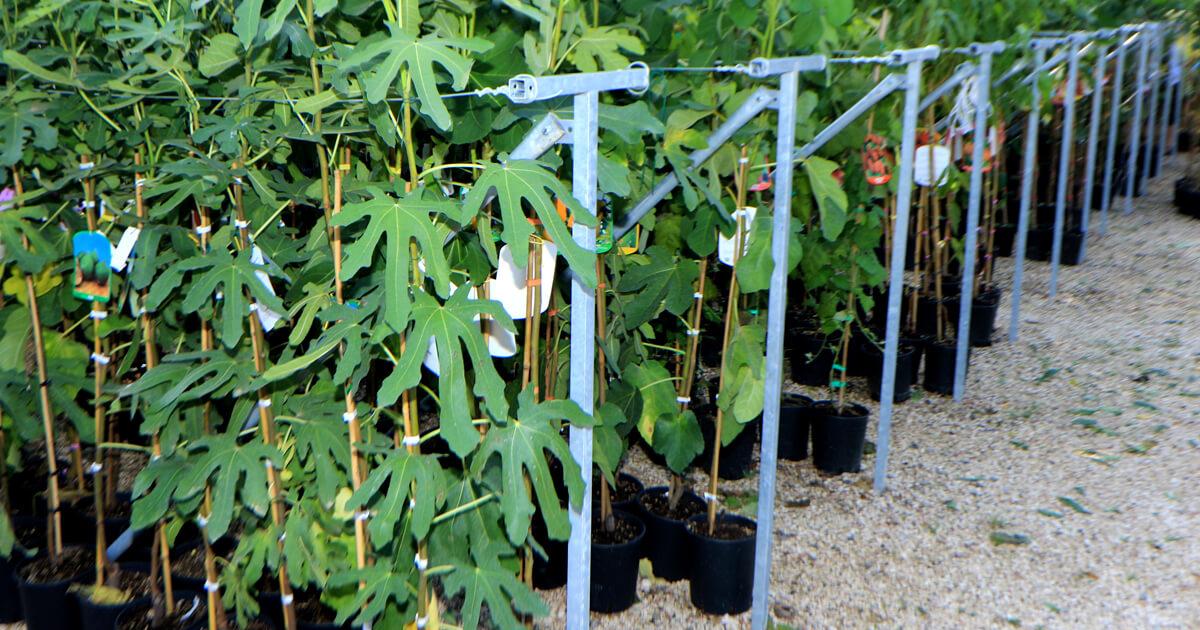 Nuova esposizione per le piante da frutto vaso 20 euro for Piante da frutto ornamentali
