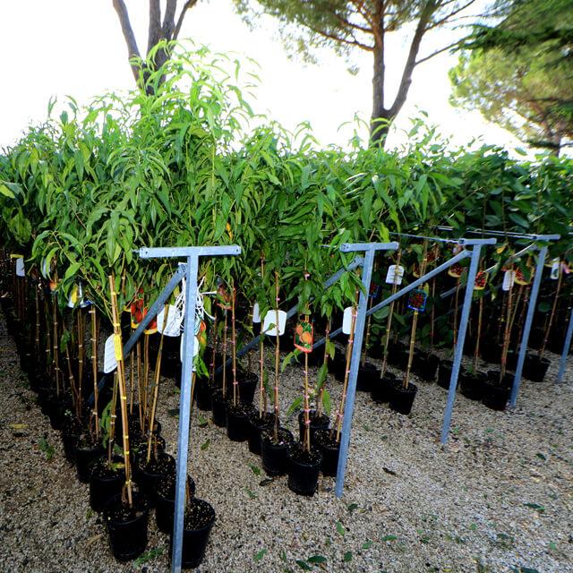 Nuova esposizione per le piante da frutto vaso 20 euro for Piante da frutto vaso