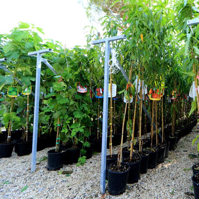 Nuova esposizione per le piante da frutto vaso 20 for Piante da frutto vaso