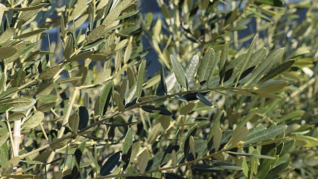 Coltivazione Olivo - Le foglie