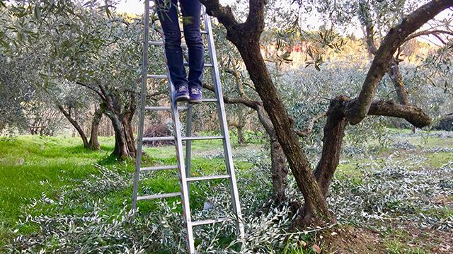 Coltivazione Olivo - La potatura