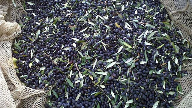 Coltivazione Olivo - La raccolta