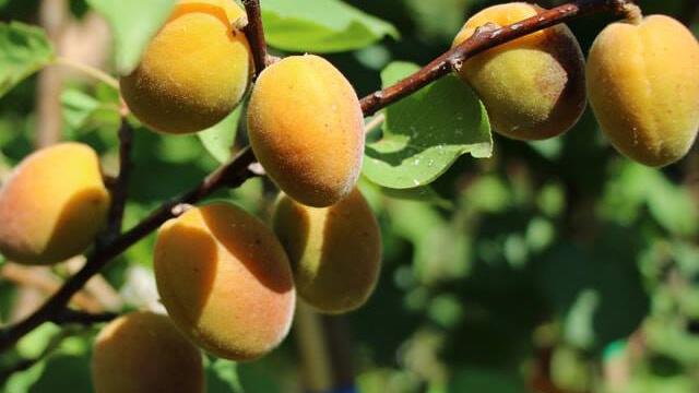 Coltivare Albicocco - i frutti