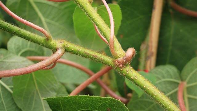 Coltivare Kiwi - i rami