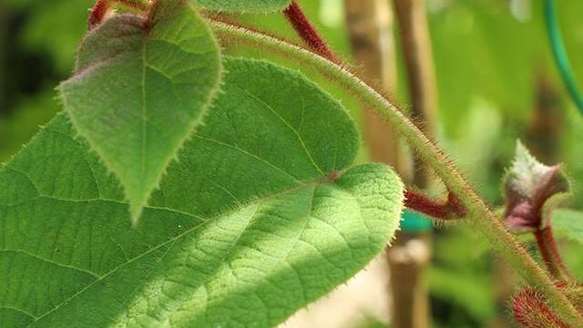 Coltivare Kiwi - le foglie